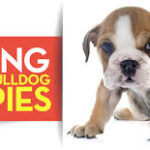English Bulldog Puppies For Sale – Where to Find?