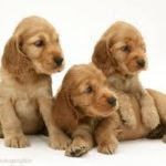 Find Beautiful Pedigree Puppies For Sale