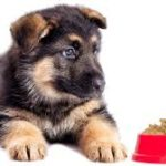 German Shepherds Puppies for Sale With Love and Care