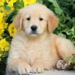 How To Spot Good Labrador Breeders | Finding Good Labrador Retriever Puppies for Sale