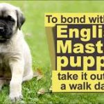 Mastiff Puppies – Where To Get Your New Companion