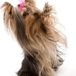 Need To Know When Looking At Yorkie Puppies For Sale