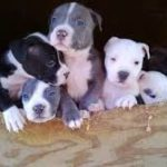 Pitbull Puppies For Sale – What Exactly Are They Selling