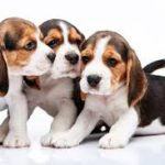 Puppies For Sale: Adorable Puppies For Sale From Local Breeders