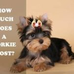 Yorkie Puppy For Sale – How To Choose a New Yorkshire Terrier Puppy With Pictures